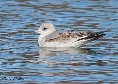 Common Gull juvenile bird