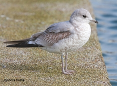 Common Gull juvenile