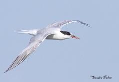 common tern photo