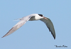 common tern picture
