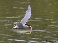 common tern with fish photo