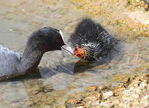 Coot feeding chick