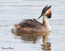 great crested grebe with chick photo