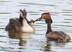 great crested grebes feeding chick photo