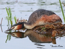 female great crested grebe