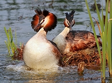 great crested grebes height=