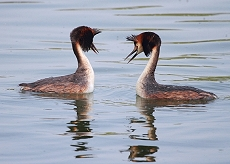 great crested grebes photo