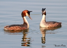 great crested grebes picture