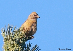 female crossbill photo