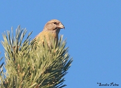 female common crossbill