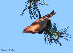 male crossbill photo