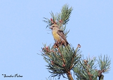 common crossbill photo