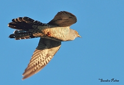 "cuckoo in flight"" height="