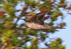 male cuckoo in flight photo