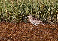curlew photo