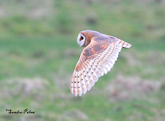 dark-breasted barn owl photo
