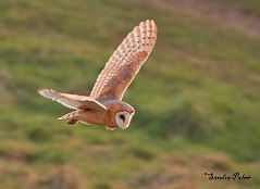 dark-breasted barn owl Southease