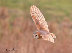 dark-breasted barn owl East Sussex