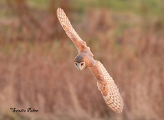 dark-breasted barn owl