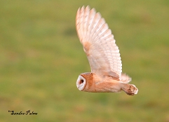 dark-breasted barn owl flight