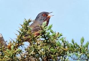 Male Dartford Warbler photo