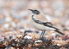 Oenhanthe deserti bird
