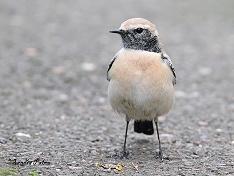 desert wheatear bird