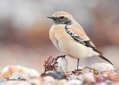 desert wheatear photo