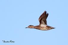 Female Teal in flight