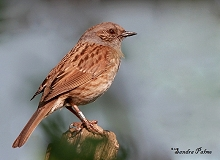 dunnock photo