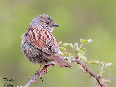 "spring dunnock"" height="