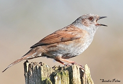 dunnock in full song