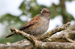 Dunnock with food