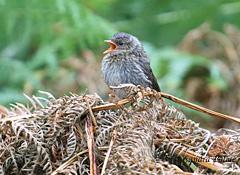 dunnock fledgling