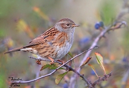 Dunnock in autumn