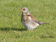 Fieldfare bird