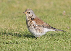 Fieldfare bird photo