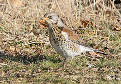 fieldfare winter thrush