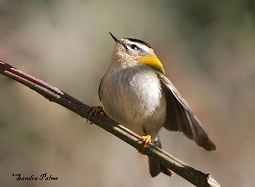 Male Firecrest