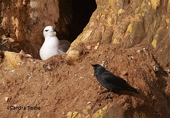 Fulmar being visited by jackdaw