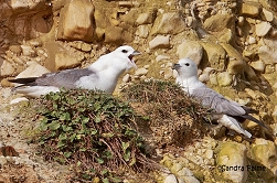 Fulmars displaying