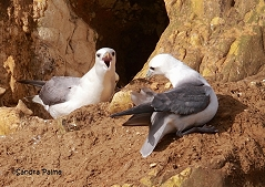 Fulmars Newhaven Cliff seabirds