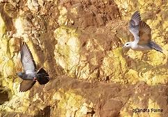 Fulmar chasing pigeon