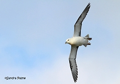 Fulmar in flight seabird