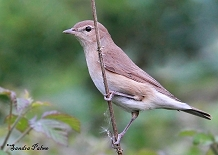 garden warbler bird