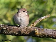 garden warbler picture