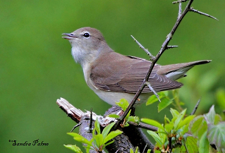 Male Garden Warbler singing