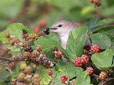 garden warbler photo