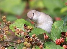 garden warbler berries