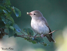 male garden warbler with insect food photo